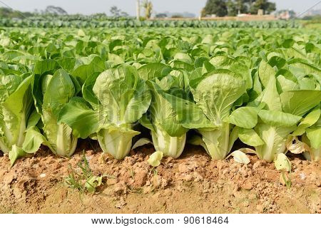 line of green vegetables growing in the soil