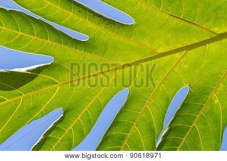 Jungle Leaf.