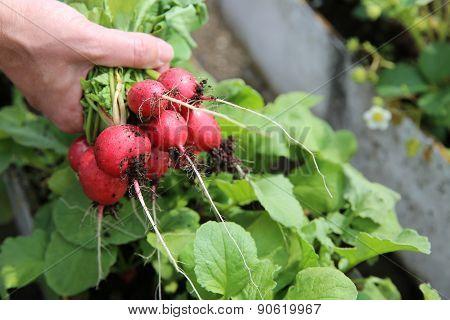 Harvesting freshly Radish