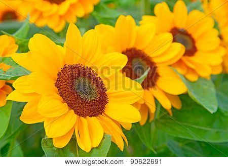 Sunflower heads with bees collecting honey