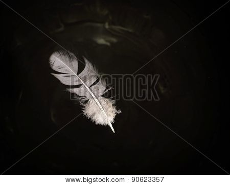 Floating Pigeon Feather On Water