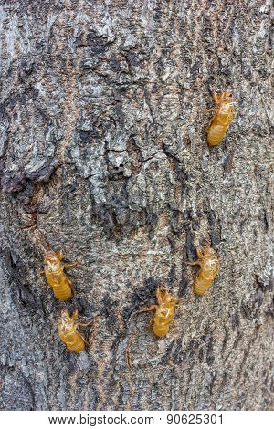 Cicada Moulting