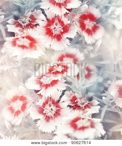 Soft Focus Carnation Flowers For Background