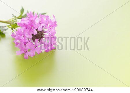 Purple Prairie Verbena flower on gradient green background