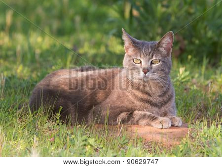 Blue tabby cat in a partial shade in spring