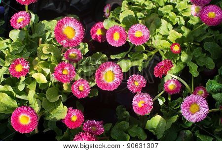 Pink And Yellow Bellis
