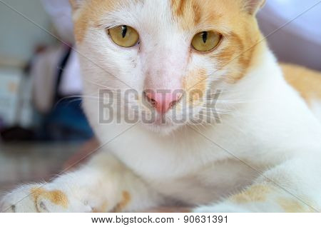 Ginger And White Kitten