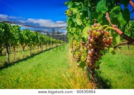 Sweet And Tasty Grape Bunch