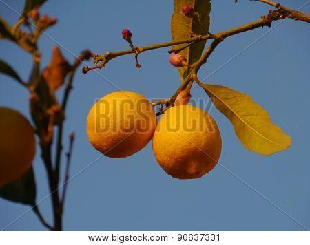 A lemon tree opposite a blue sky