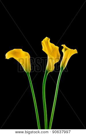 Bunch of callas on black background