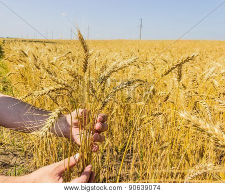 Stems Of Wheat In The Hands