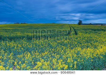 Rape Field Landscape