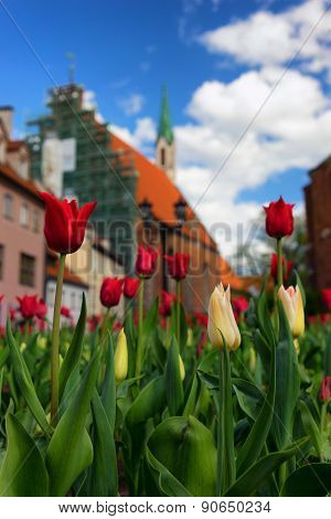 Red Tulips In The Center Of The Old City Of Riga