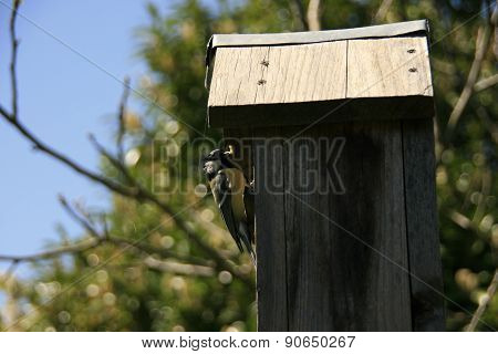 Tit in a bird house