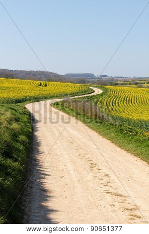 Meandering Track Through Yellow Rape Seed Crops