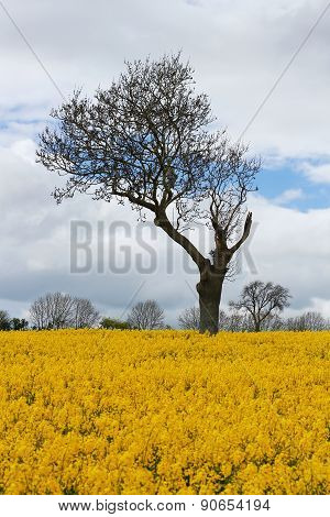 Unique Tree In Yellow Rapeseed Field