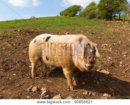 Big pig with black spots