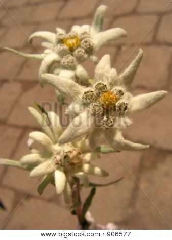 Edelweiss Leontopodium Alpinum Albumita Alpine Flower