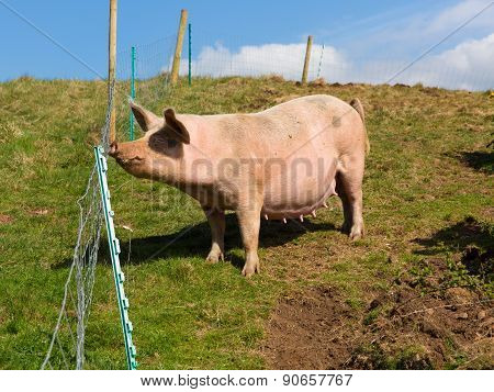 Spotted sow pig with black spots