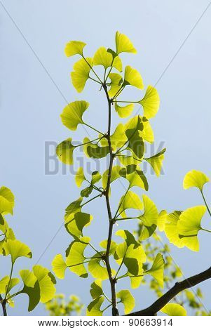 Branch Of Ginkgo Biloba
