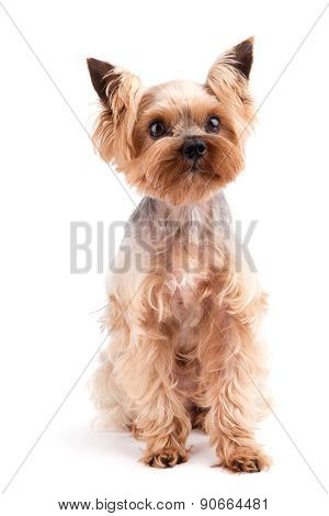 Yorkshire Terrier Sitting And Looking At Camera Against White Background