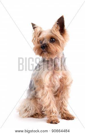Yorkshire Terrier Sitting On White Background