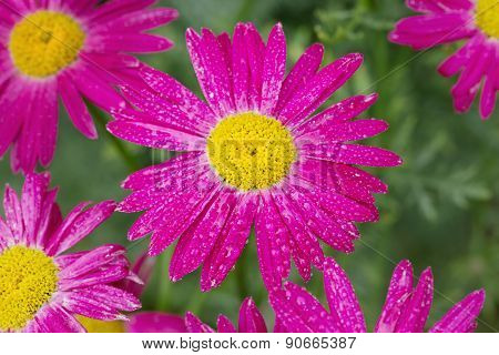 Daisy Garden With Water Drops
