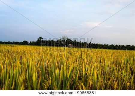 Rice Fields With Moutain Background In Blue Sky.