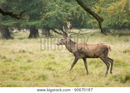 Male Red Deer, Cervus Elaphus