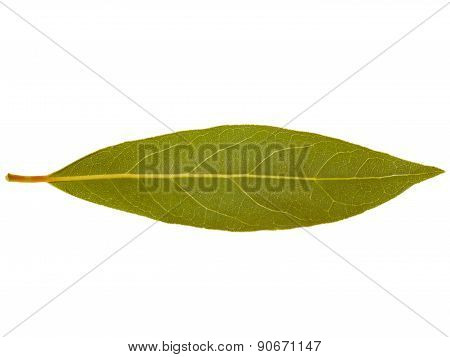 Retro Look Laurel Bay Tree Leaf Isolated