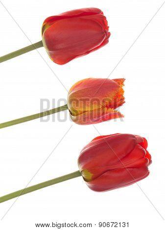 Tulips Diagonally