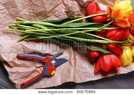 Beautiful colorful tulips on parchment with secateurs, closeup