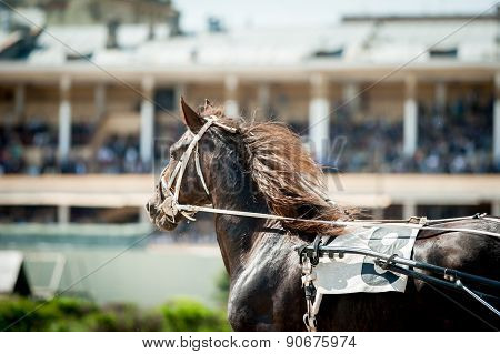 Running Chestnut Trotting Horse Portrait With Hippodrome Bleachers Behind