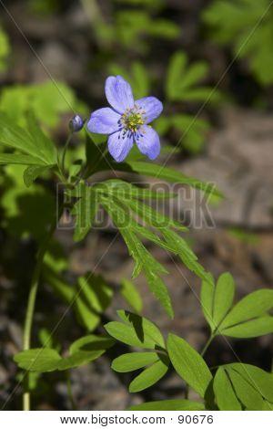 Wildflower (anemone)