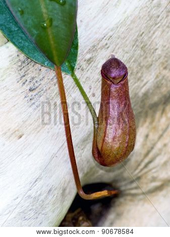 Pitcher Plant (nepenthes Sp.)