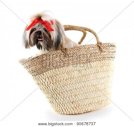 Cute Shih Tzu in wicker bag isolated on white