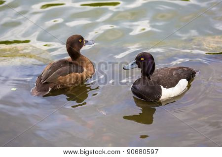 A Pair Of Ducks Tufted Duck Floating In A Lake.