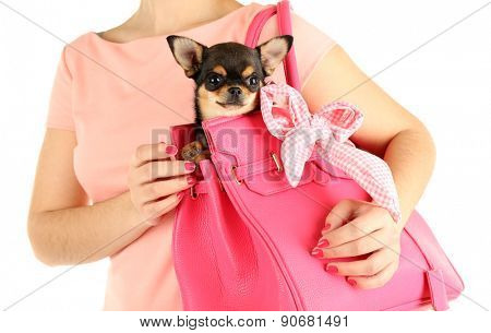 Woman carrying cute chihuahua puppy in pink bag isolated on white