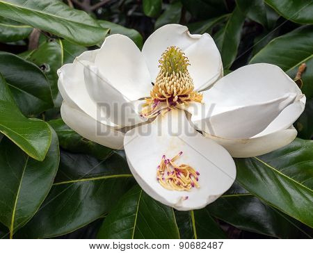 Magnolia Flower In Full Bloom