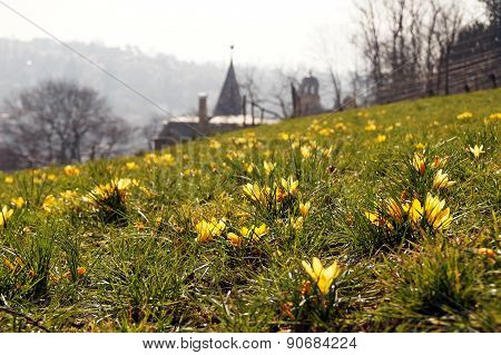 Yellow Crocus Flowers Above The City
