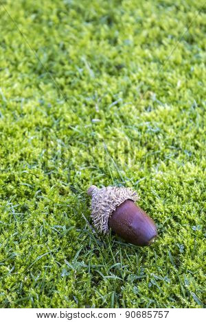 Acorns On A Moss Lawn Background. The Acorn, Or Oak Nut, Is The Nut Of The Oaks