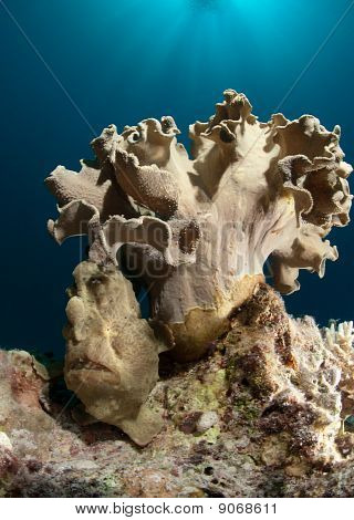 Giant Frogfish Under Leather Coral