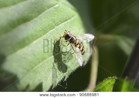 Busy Bee Hover Fly