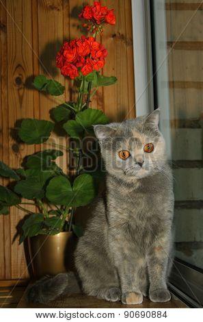 British Shorthair And Pelargonium Flower