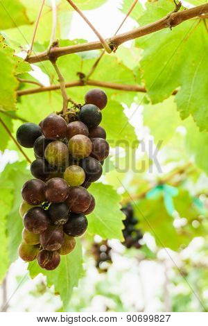 Fresh Grapes On Vine In Garden, Closed Up