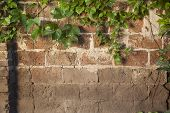 picture of creeper  - Old brick wall texture covered with green ivy creeper - JPG