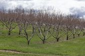 foto of orchard  - Rows of apple trees blooming on a countryside orchard during springtime - JPG