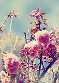 image of cherry  - Beautiful cherry tree flowers - JPG