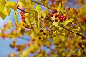 foto of rowan berry  - Fall background with yellow leaves - JPG
