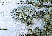 picture of lichenes  - lichen  - JPG